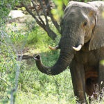wild elephant in Kruger National Park, South Africa