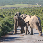 wild elephants in Addo Elephant Park, South Africa