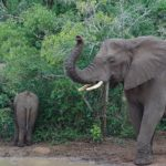 wild elephants in Hluhluwe iMfolozi Park , South Africa