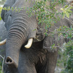wild elephant in Tembe Elephant Park, South Africa