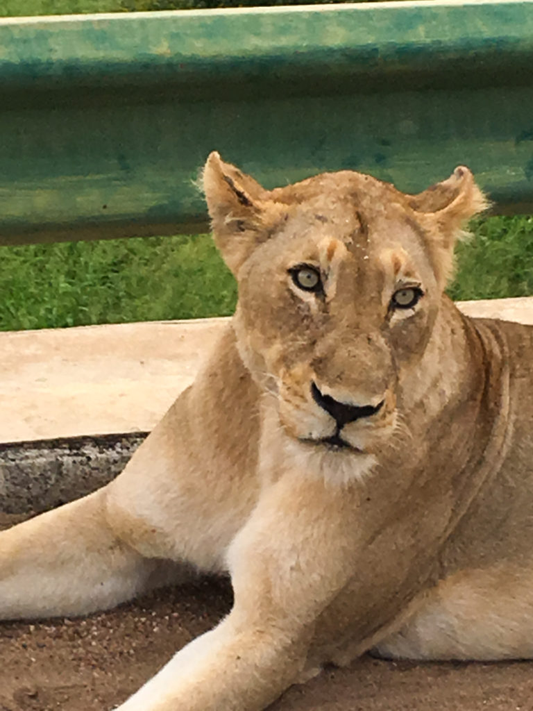 Lioness in Kruger - South Africa