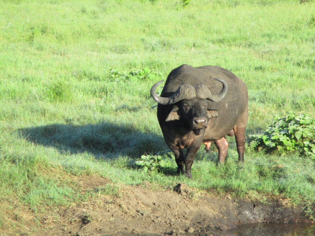 Cape Buffalo - Tembe - South Africa