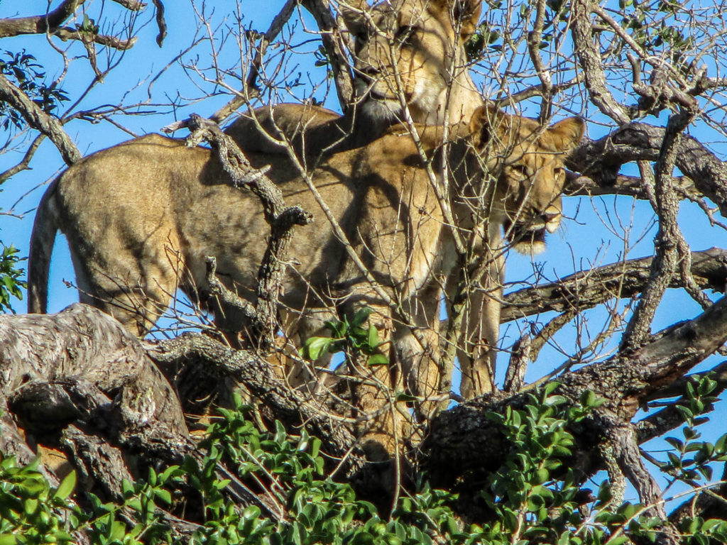 Lions in Tree - Tembe - South Africa
