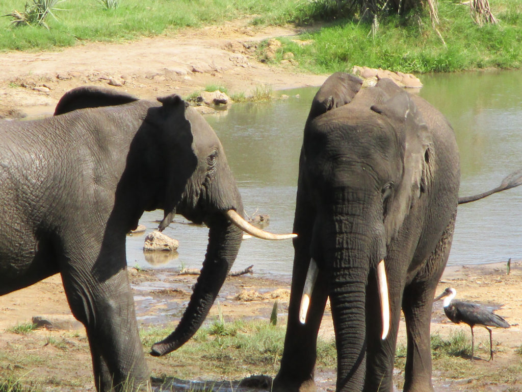Elephants at hide - Tembe - South Africa