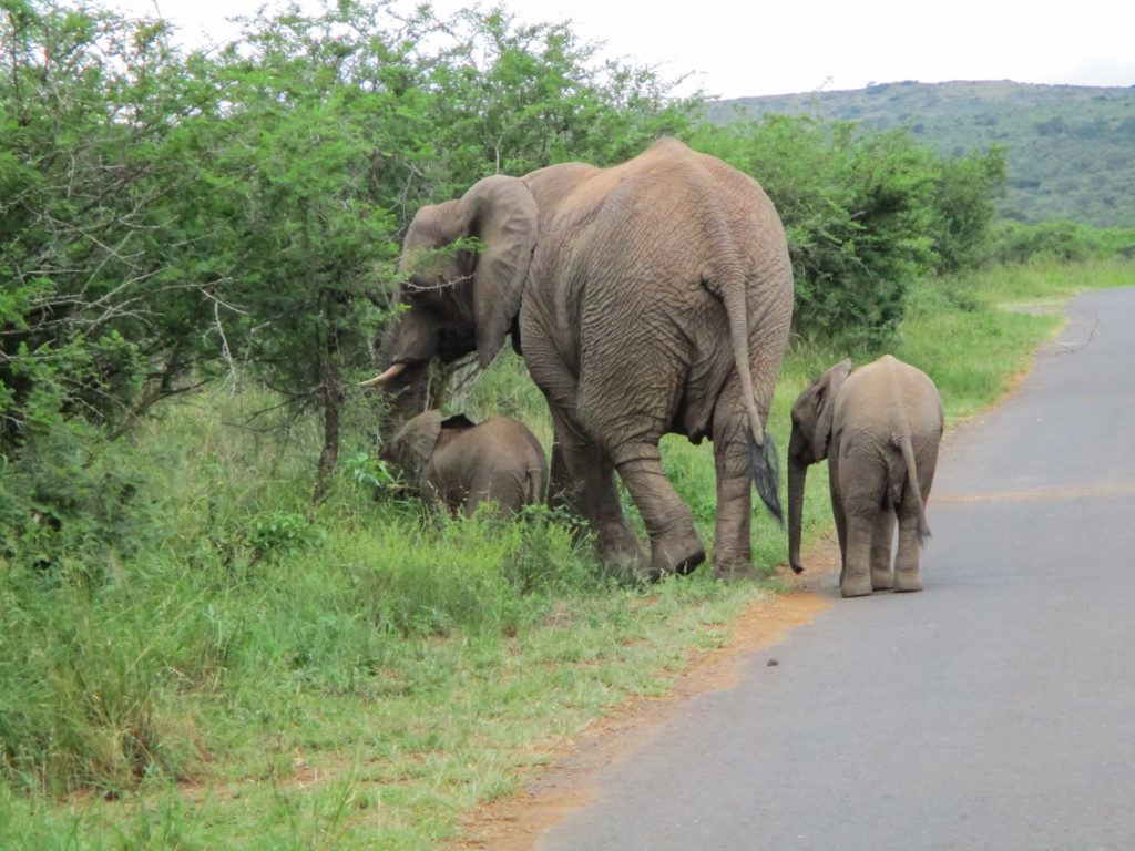 Mom and Baby elephants - Hluhluwe - South Africa