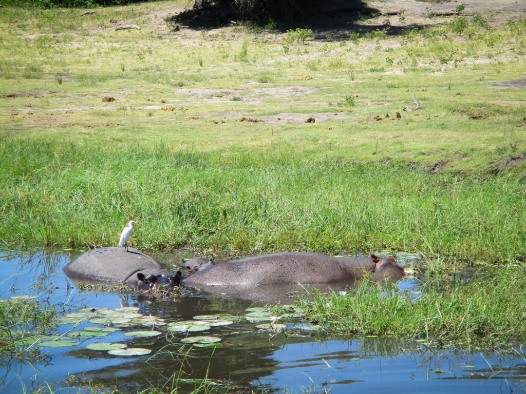 Hippos cooling off!